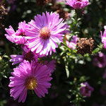 Rosa Aster
