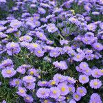 Ein Meer aus lila Blüten und beliebt bei den Schmetterlingen