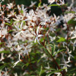 Gillenia trifoliata Dreiblatt Spiere der Star im Juni Garten