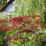 Mai, der Acer palmatum ist ein echter Hingucker inmitten des frischen Grüns
