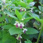 Das Immenblatt (Melittis melissophyllum) leider selten in Gärten zu finden.
