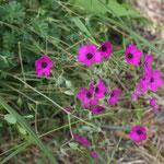 Geranium psilostmon patricia