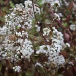 Eupatorium Rugosum Chocolate letzte Blüten bis zum Frost