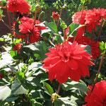 Die leuchtend rote Dahlie