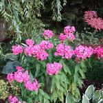 August: Der Phlox bringt Farbe ins Beet
