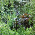 Aconitum blüht im Mai vor der Ligularia Desdemona