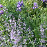 Blaue Stunde-Katzenminze und Iris die Nepeta blüht den ganzen Sommer durch