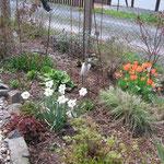 Tulpen in Orangen leuchten mit den Narzissen um die Wette