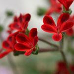 Pelargonium x Ardens