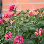 Mein Lieblingsblume im Kübel- Wandelröschen (Lantane)