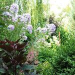 Im Dschungel - Campanula mit Wasserdost (Eupatorium rugosum 'Chocolate)