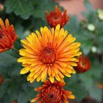Chryssantheme schön zur Herbstdeko