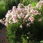 Große Glockenblume Campanula lactiflora 'Loddon Anne'