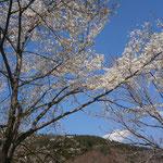 2014/4/24 レストラン西側の山桜