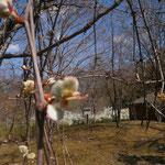 2014/4/24 山ぶどうの花芽