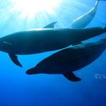 御蔵島ドルフィンスイム/シルエットのイルカ