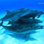 バハマドルフィンスイム/イルカの群れ