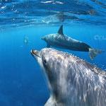 御蔵島ドルフィンスイム/こちらを見るイルカ