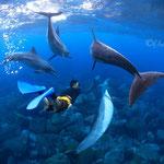 御蔵島ドルフィンスイム/イルカに囲まれるドルフィンスイマー