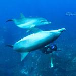 御蔵島ドルフィンスイム/イルカと間近で泳ぐドルフィンスイマー
