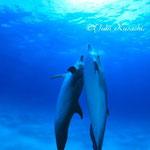 バハマドルフィンスイム/光に向かって泳ぐペアのイルカ