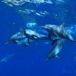 御蔵島ドルフィンスイム/イルカの群れ