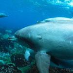 御蔵島ドルフィンスイム/間近で泳ぐイルカ