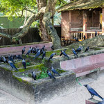 Raven Council, Fort Cochin, Kerala