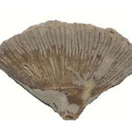 Pattalophyllia sinuosa