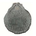 Chlamys biarritzensis