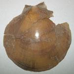 Amussium cristatum