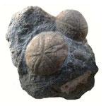 Echinolampas burdigaliens