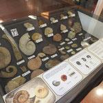 Vitrina sobre ammonits