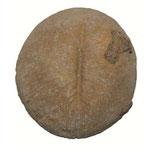 Cunnolites ellipticus