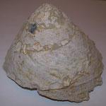 Xenophora infundibulum