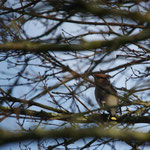 Pestvogel (Bombycilla garrulus) - Uitkerke België