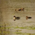 Pijlstaart (Anas acuta) - Bourgoyen België