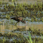 Zwarte ibis (Plegadus falcinellus) - Bourgoyen België