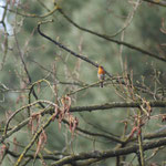 Roodborst (Erithacus rubecula) - VOC Oostende