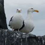Grote mantelmeeuw (Larus marinus) - Farne Islands, UK