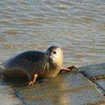 Gewone zeehond (Phoca vitulina) - Ijzermonding Nieuwpoort België