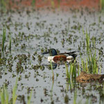 Slobeend (Anas clypeata) - Bourgoyen België