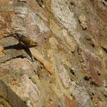 Kruisbek (Loxia curvirostra) - Signal de Botrange België