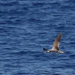 Kuhl's pijlstormvogel (Calonectris diomedea borealis)