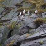 Papegaaiduiker (Fratercula arctica) - Craigleigh Schotland