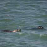 Grijze zeehond (Halichoerus grypus) - Zeeland, Nederland