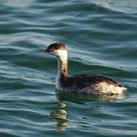 Kuifduiker (Podiceps auritus) - Spuikom Oostende