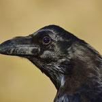 Raaf (Corvus corax tingitanus)