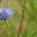 Korenbloem (Centaurea cyanus) - Teut België