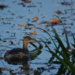 Dodaars (Tachybaptis ruficollis) - Platwijers België